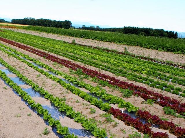 ハンサムグリーン畑