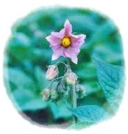 キタアカリ花