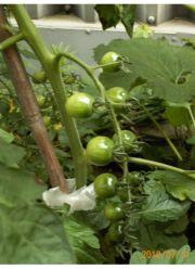 我家のミニトマト